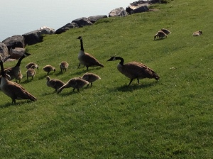 Canadian Geese and baby geese